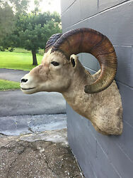TAXIDERMY VERY NICE BIGHORN SHEEP SHO. MOUNT LOG CABIN HUNTING LODGE DECOR # 2
