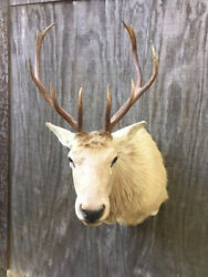 NEW Blond Elk 4 x 4 Wall - Pedestal shoulder Mount Hunting Lodge Taxidermy Decor