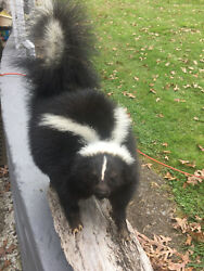 TAXIDERMY VERY NICE LG. LIFESIZE STRIPPED SKUNK MOUNT CABIN HUNTING LODGE DECOR