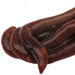 HomeGrownWorms.com 100 Live Red Wigglers Composting Worms Live Delivery $24.99