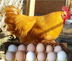12 of Brady#x27;s mixed colored Fertile Chicken Hatching Eggs $5.00