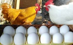 12 of Brady#x27;s Leghorn Buff Orpington Fertile Chicken Hatching Eggs $5.00