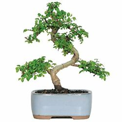 Live Chinese Elm Outdoor Bonsai Tree 5 Years Old 6quot; to 8quot; Tall with Container $38.81