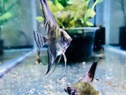 live fish for sale smoky or zebra angelfish 5 for 20$ $20.00