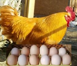 12 of Brady#x27;s Shades of Brown Chicken Hatching Eggs Free Shipping $15.70