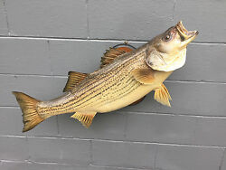 MONSTER REAL SKIN Striped BASS-FISH TAXIDERMY MOUNT LOG CABIN LODGE DECOR # 1