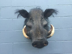 Taxidermy *African  Giant Forest Hog* Shoulder Mount Safari Hunting Lodge Decor
