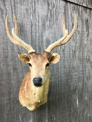 Taxidermy Nice RUSA DEER Sho. mountVelvet AntlersLog CabinHunting Lodge Decor
