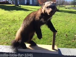 NICE LG.ALASKAN WOLVERINE LIFESIZE MOUNT TAXIDERMY LOG CABIN HUNTING LODGE DECOR
