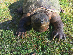 Awesome Taxidermy Snapping Turtle lifesize mount log Cabinhunting lodge decor