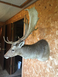 Taxidermy  FALLOW DEER Sho. Mt. 18 point ANTLERS  Log  Cabin Hunting Lodge Decor