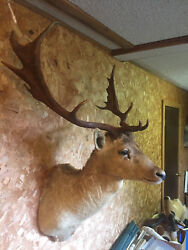 Taxidermy  FALLOW DEER Sho. Mt. 14 point ANTLERS Log Cabin Hunting Lodge Decor-2