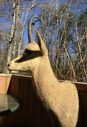 TAXIDERMY PYRENEAN CHAMOIS Shoulder Mount Big HornsEuropean Cabin Lodge Decor