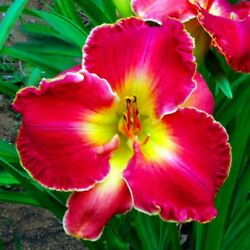 Wish Fulfillment     DOUBLE FAN DAYLILIES 10+ ANY OF MY LISTINGS=FREE SHIPPING