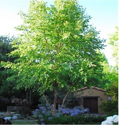 "River Birch 10 Cuttings Unrooted Easy Fun Great Deal 6"" 10"" Inches. $6.00"