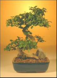 Flowering Ligustrum Bonsai Tree Large Curved Trunk Style 14 y old 12quot; 14quot; tall $155.99