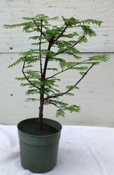 Redwood Pre Bonsai Tree Large Outdoor Deciduous 5 years old 10quot; tall $54.95