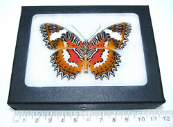 Cethosia hypsea verso REAL FRAMED BUTTERFLY RED ORANGE INDONESIA $34.00