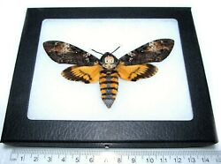 Acherontia atropos REAL FRAMED SILENCE OF THE LAMBS DEATH#x27;S HEAD MOTH SKULL $60.00