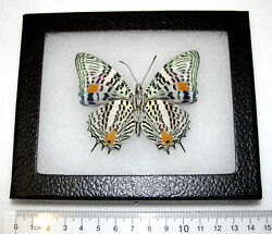 REAL PERUVIAN LEOPARD SPOTTED BAEOTUS AMAZONICUS VERSO FRAMED BUTTERFLY INSECT $36.00
