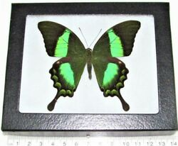 Papilio palinurus REAL FRAMED BUTTERFLY BLUE GREEN SWALLOWTAIL INDONESIA $32.00