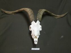goat skull trophy Catalina western rustic decor wildlife SG0305