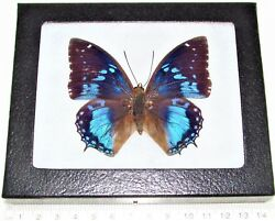 Charaxes smaragdalis REAL FRAMED BUTTERFLY BLUE AFRICA $28.00