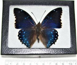 Charaxes numenes REAL FRAMED BUTTERFLY BLUE AFRICA $26.00