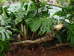 Monstera Deliciosa SWISS CHEESE EXOTIC TROPICAL 5 Seeds $4.99