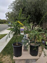 5 Gallon Exotic Australian Native Finger Lime (Citrus Caviar) Tree LOCAL PICKUP