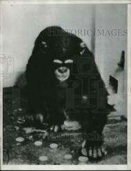 1934 Press Photo chimp selects coin so she can avoid photographer