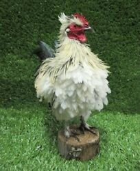 Cream and Black Frizzle Rooster Real Bird Taxidermy Bird Mount