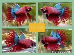 Betta Crowntail Blue amp; Red Live Male CT004 High Quality $25.99