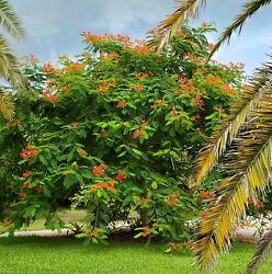 Royal Red Poinciana Seed Pods Flame Tree Exotic FREE Shipping $15.00