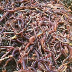 250 Red Wiggler Composting Worms $30.50