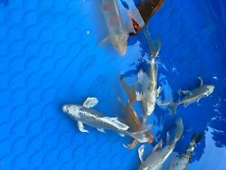 9 Large Koi fish for sale. Variety of Colors. 12 15 inches long. $2500.00