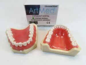 Dental Model Anatomy Study Teaching Model Typodont Orthodontic Standard Artmed
