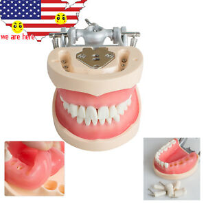 Articulated Plate 200h Type Removable Dental Standard Teeth Model Teaching Study