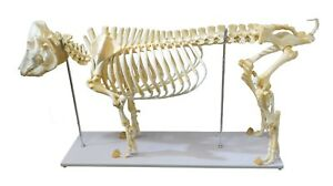 Adult Pig Skeleton Anatomy Model Full Skeleton Bones For Museum Classroom School