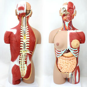 Medical 85cm 29 Parts Human Full Size Torso Model With Half Body Muscles