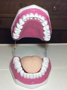 Large Denture Model Teaching Assistant