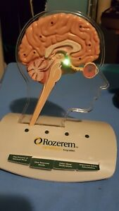 Vtg Medical Plastics Lab Anatomical Human Brain Teaching Model