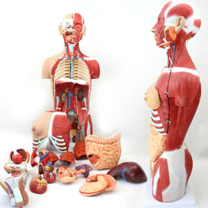 Medical 85cm 29 Parts Human Full Size Torso Model With Half Body Muscles Organs