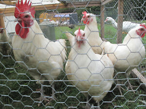 White American Bresse Dirty Dozen Hatching Eggs Rare Breed 12 Eggs Num Num Farms