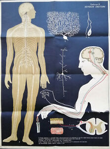 Vintage Antique Medical Anatomy Russian Educational Poster Human Nervous System