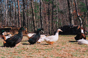 24 Duck Eggs Organic free Range pasture Raised For Cooking Or Eating