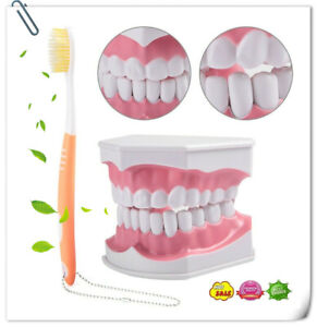 Removable Dental Study Teaching Tooth Model Adult Dental Teeth Model toothbrush