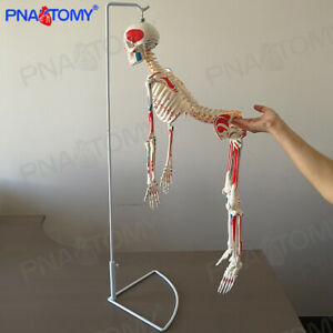 33 Skeleton Model With Muscle Painted For Medical Science Anatomically Correct