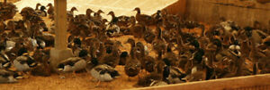 80 Mallard Ducks Hatching Eggs Npip Cert Shipping In Foam