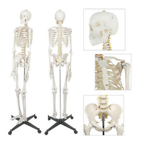 6ft Life Size Human Anatomical Anatomy Skeleton Medical Model Stand 70 New
